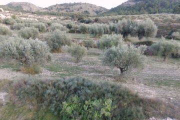 Petrer quiere transformar su olivar al modelo agroecológico, con un equipo de innovación formado por técnicos de varias instituciones