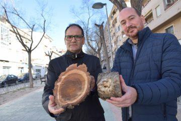 L'Ajuntament de Petrer substitueix diversos arbres de l'av. Felip V després de detectar-se diversos oms malalts