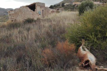 Encuentran un arruí decapitado en el paraje del Figueralet